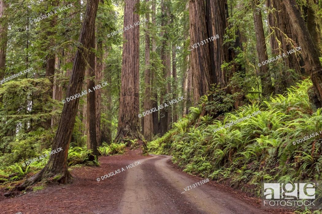 Imagen: Forest Glow between rain on Cal Barrel Road in Prarie Creek Redwoods State Park, California USA.