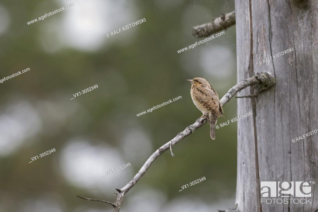 Imagen: Eurasian Wryneck ( Jynx torquilla ) perched on a branch of a dead spruce tree, typical view on distance, in natural surrounding, wildlife, Europe.