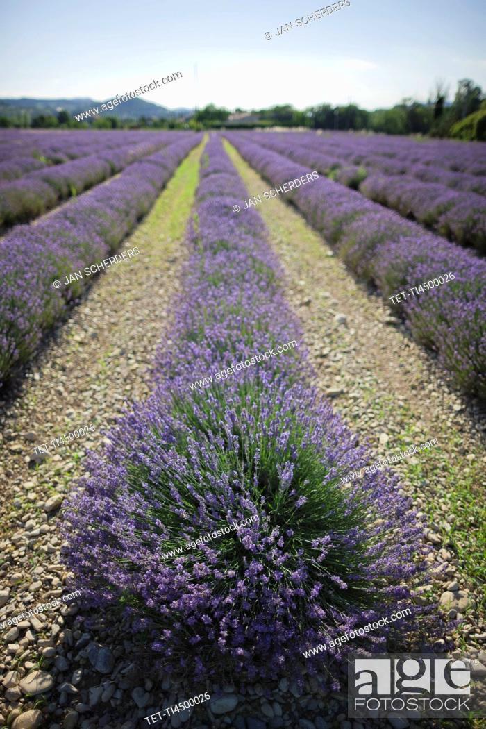 Stock Photo: France, Drome, Piegros-la-Clastre, Lavender field.