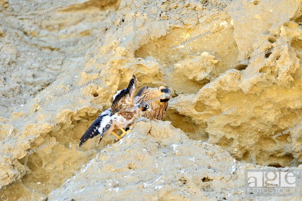 Imagen: Austral Peregrine Falcon - young at nest on cliff face Peninsula Valdes, Patagonia, Argentina, South America (Falco peregrinus cassini).