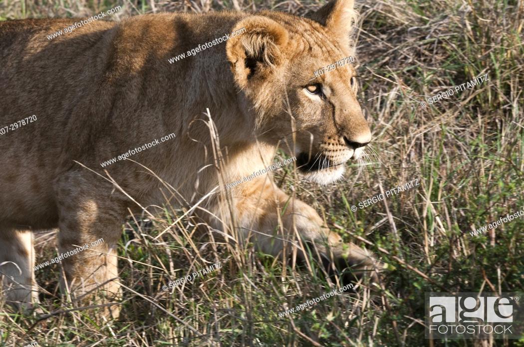 Stock Photo: Lion cub (Panthera leo), Masai Mara, Kenya.