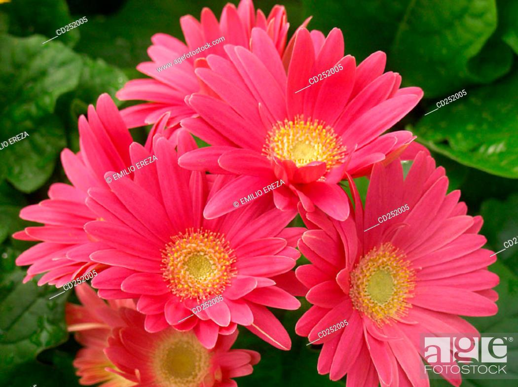 Stock Photo: Gerbera Daisies (Gerbera hybr.).