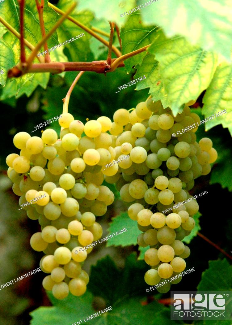 Stock Photo: Bunch of yellow grape 'Ampelia Perdin' .