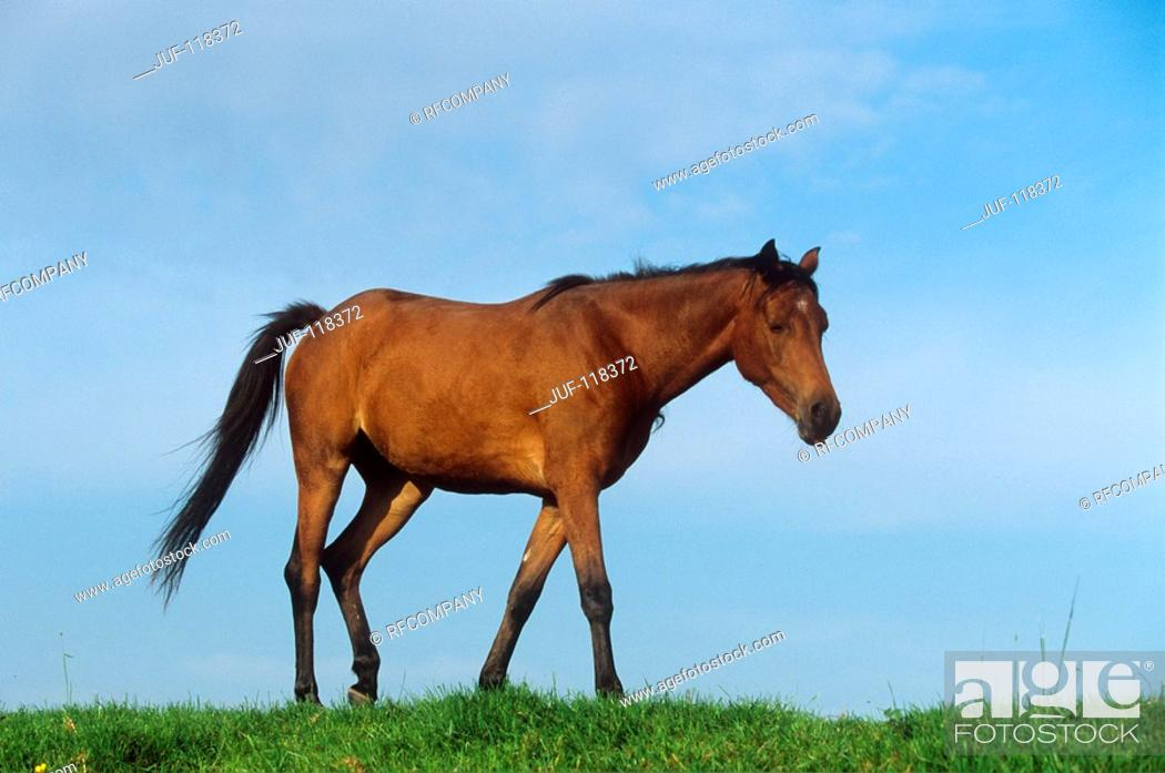 Stock Photo: young Welsh Pony on meadow.