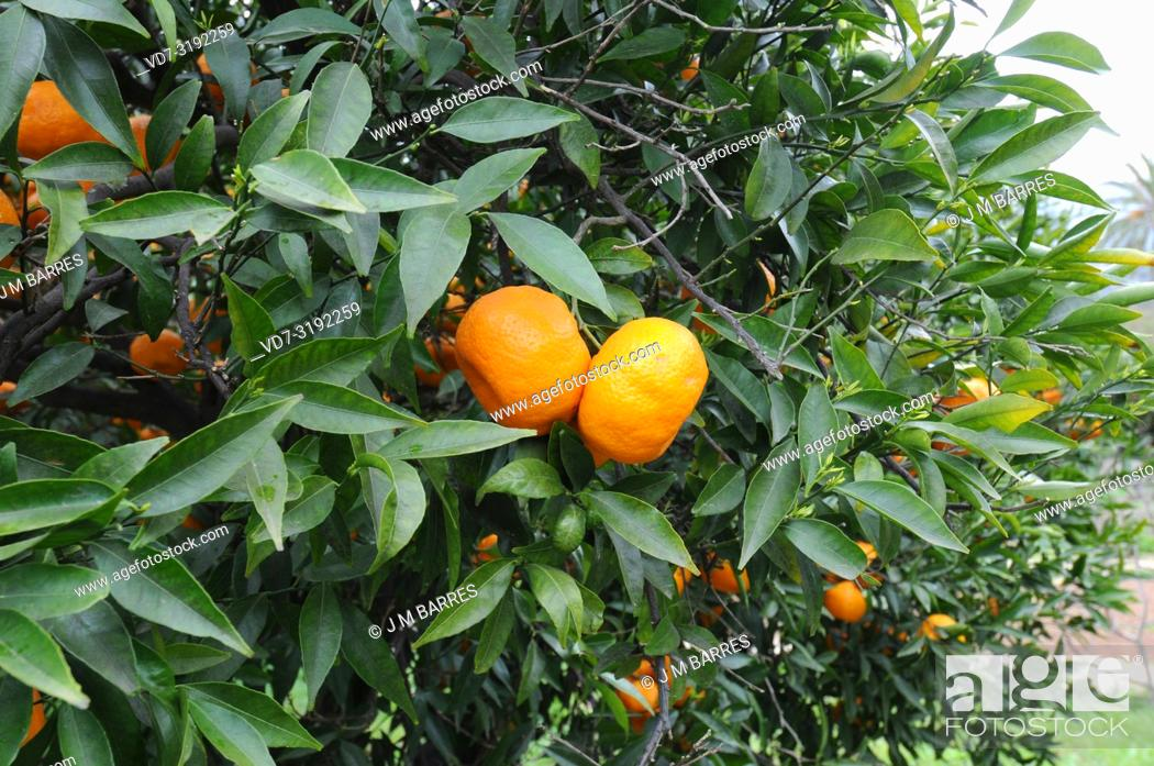 Imagen: Mandarin orange (Citrus reticulata) is a small tree native to south China. Its fruits (mandarines) are edible. Fruits and leaves detail.