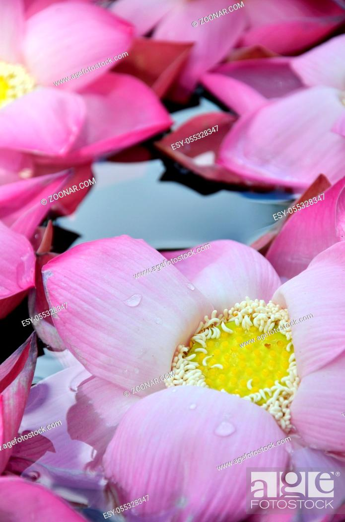 Stock Photo: Blossom pink lotus flowers in water pond.