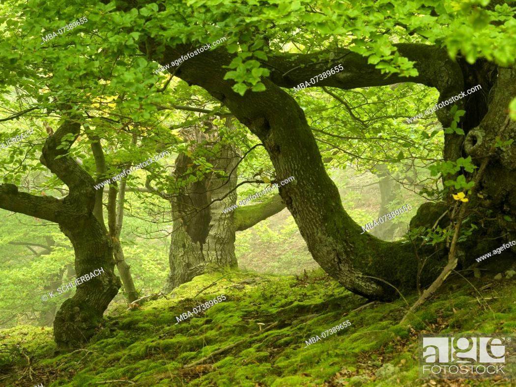 Stock Photo: Germany, Hesse, Vöhl, nature and national park Kellerwald-Edersee, gnarled beeches at the Mühlecke, primeval forest trail.