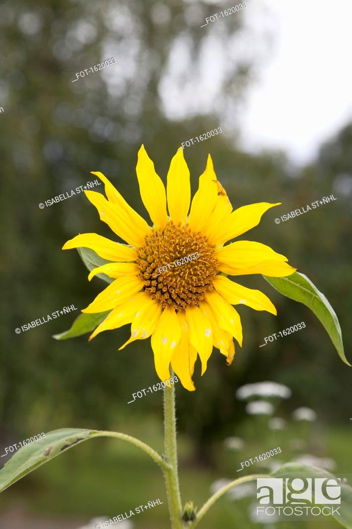 Stock Photo: Close-up of sunflower blooming at field.