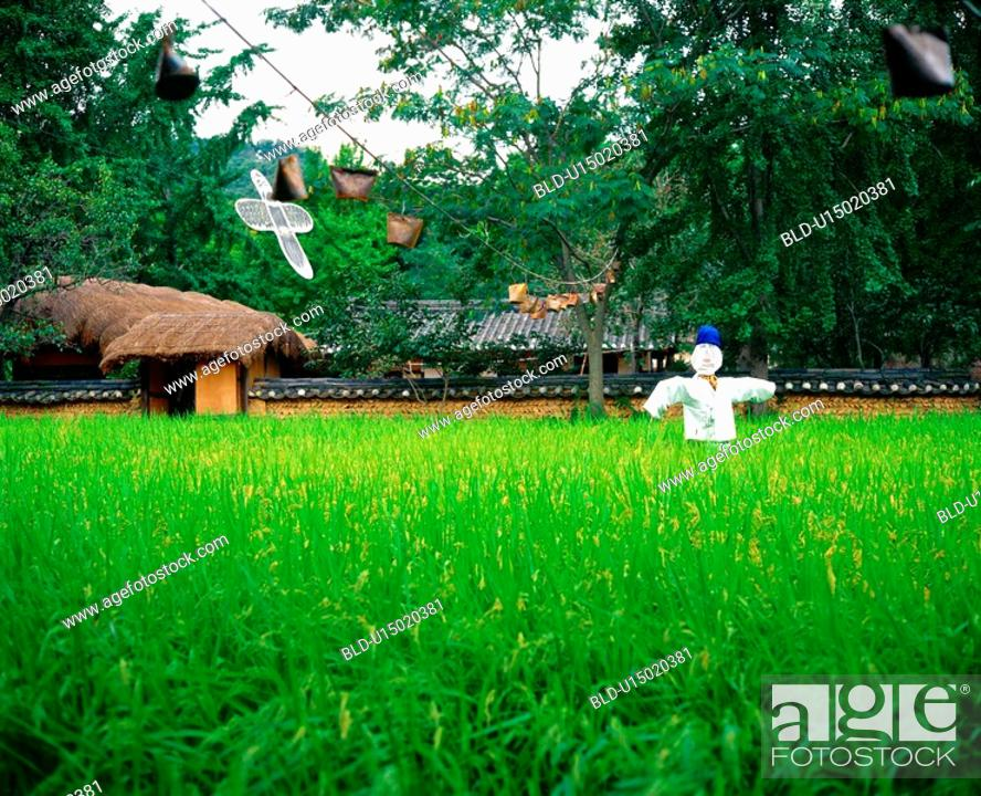 Stock Photo: farm village, field, country, scarecrow, paddy, plant.