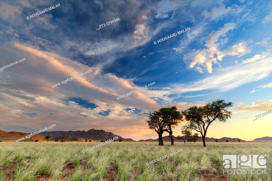Stock Photo: Landscape photo of camelthorn trees in a grassy valley under sunset skies. Namib Naukluft National Park, Namibia.