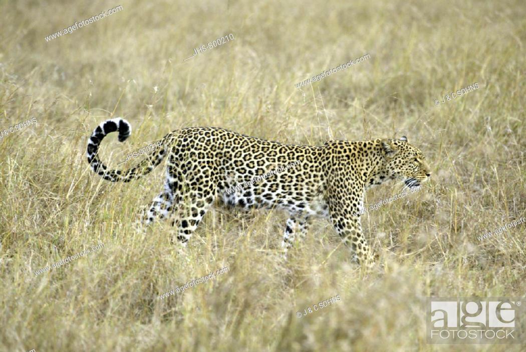 Stock Photo: Leopard Panthera pardus Masai Mara Kenya, adult female.