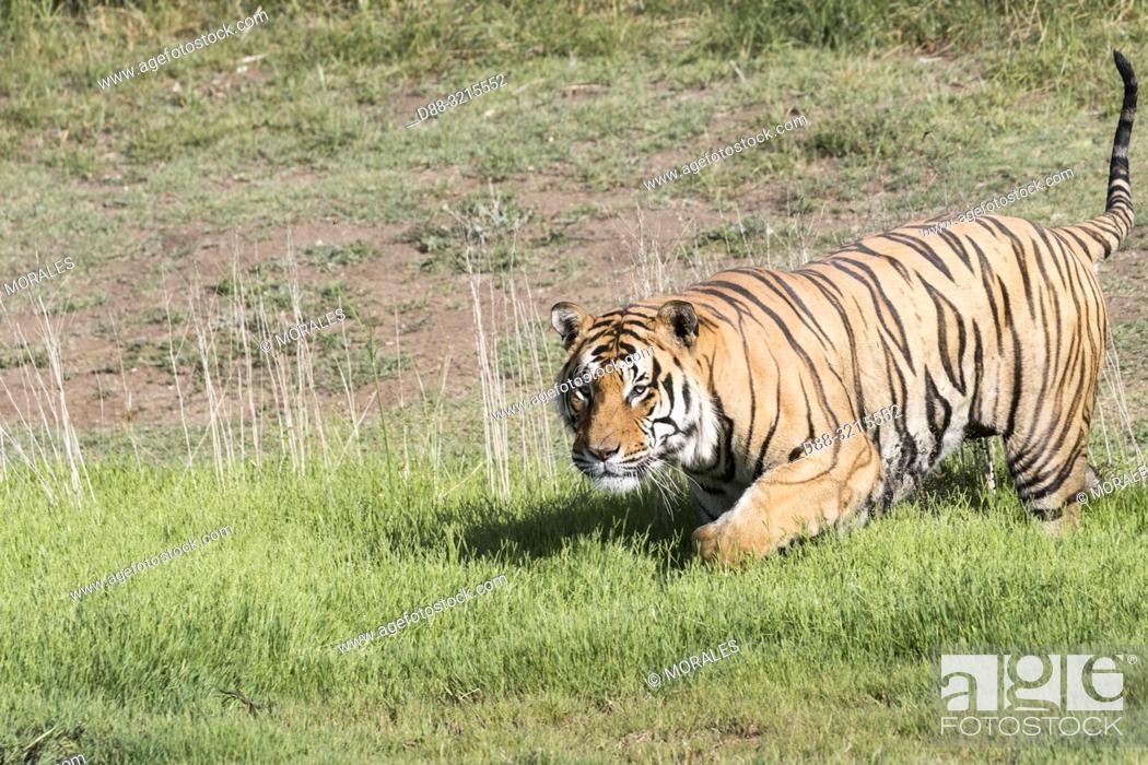 Stock Photo: South Africa, Private reserve, Asian (Bengal) Tiger (Panthera tigris tigris), adult in a swamp.