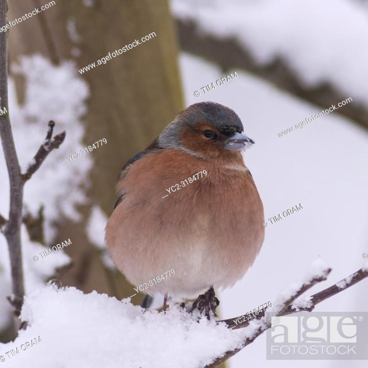 Stock Photo: A Male Chaffinch (Fringilla coelebs) in freezing conditions in a Norfolk garden.