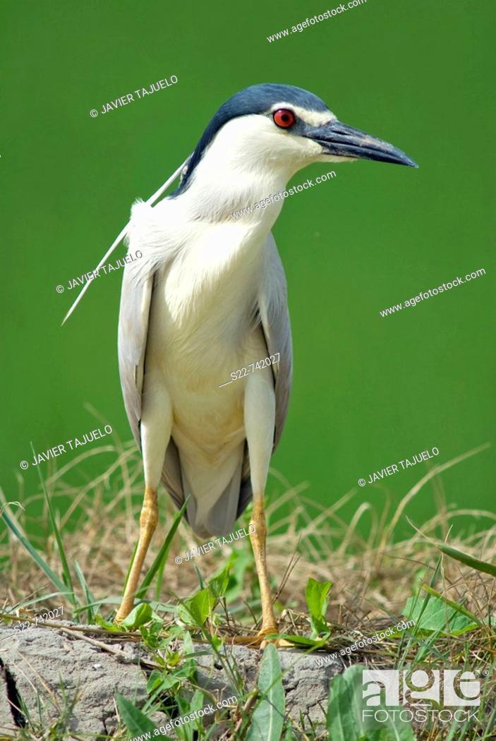 Stock Photo: Black-crowned Night Heron (Nycticorax nycticorax).