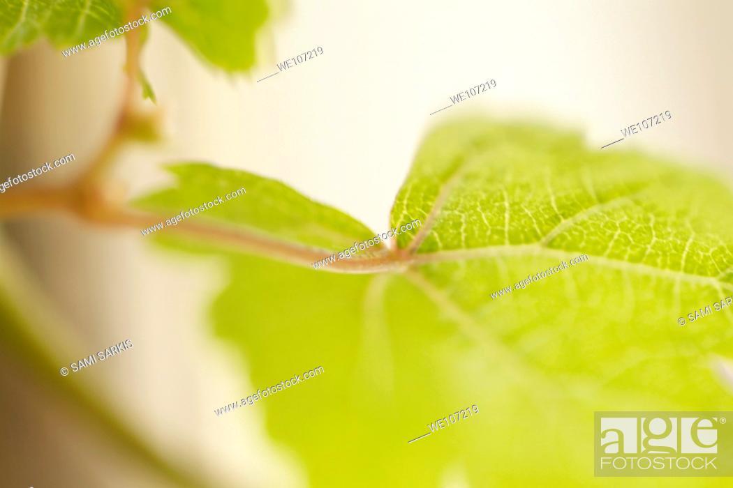 Stock Photo: Green grapevine leaf Vitis.