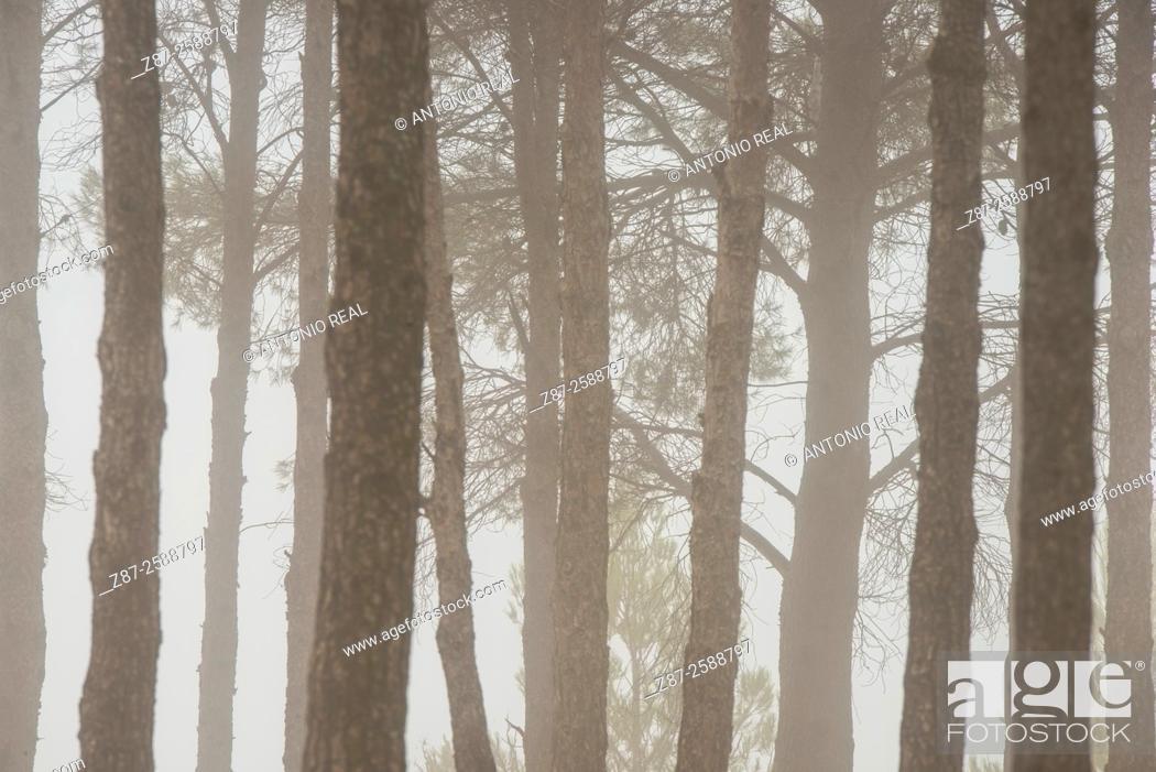 Photo de stock: Misty pine grove, Almansa, Albacete, Castile-La Mancha, Spain.