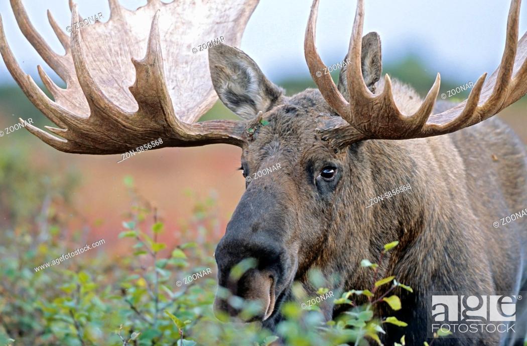 Stock Photo: Portraet eines Elchschauflers - (Alaska-Elch) / Bull Moose in portrait - (Alaska Moose) / Alces alces - Alces alces (gigas).
