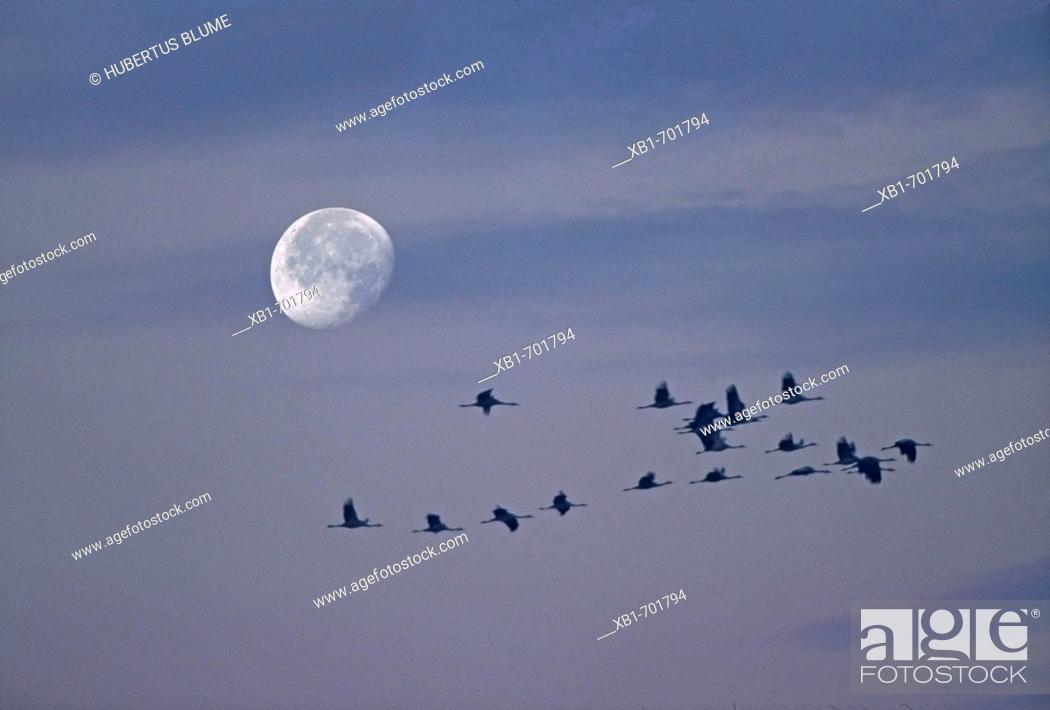Stock Photo: Grus grus flying at night.