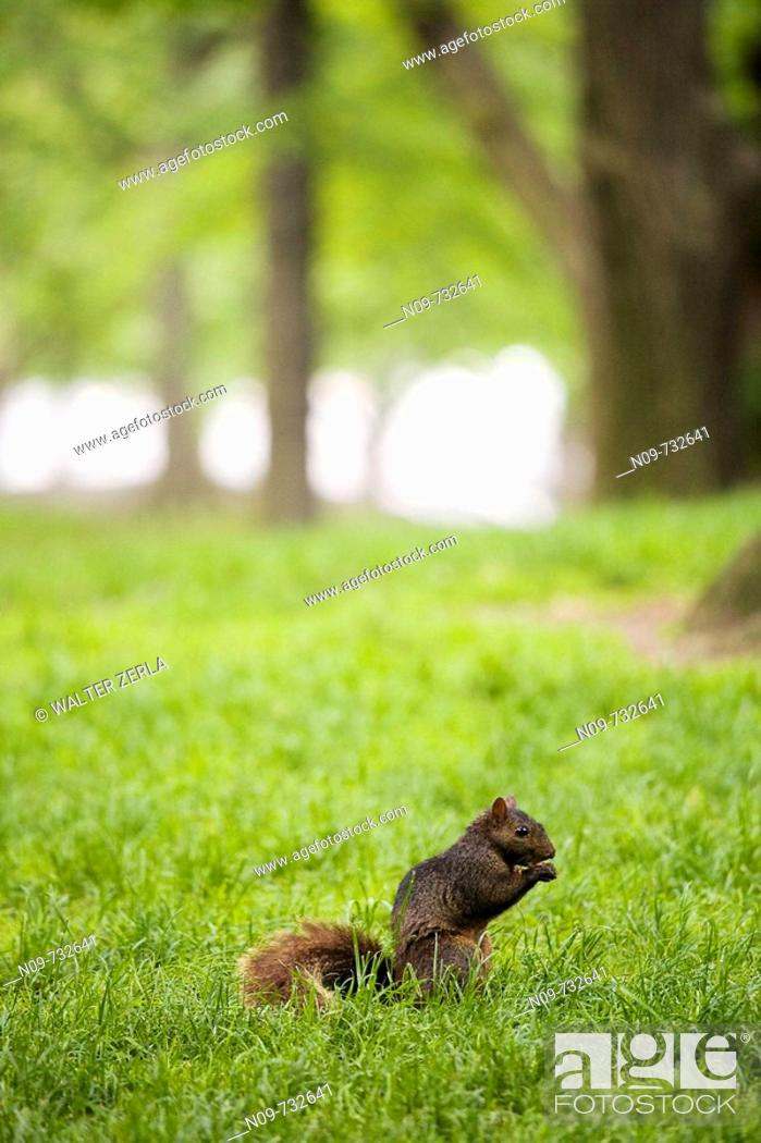 Stock Photo: Squirrel in Central Park, New York City, USA.