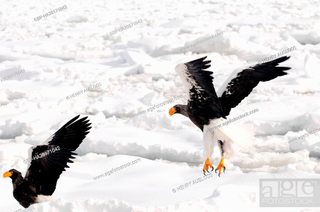 Stock Photo: Steller's sea eagle, Haliaeetus pelagicus, (Pygargue de Steller) Russia, 2017.