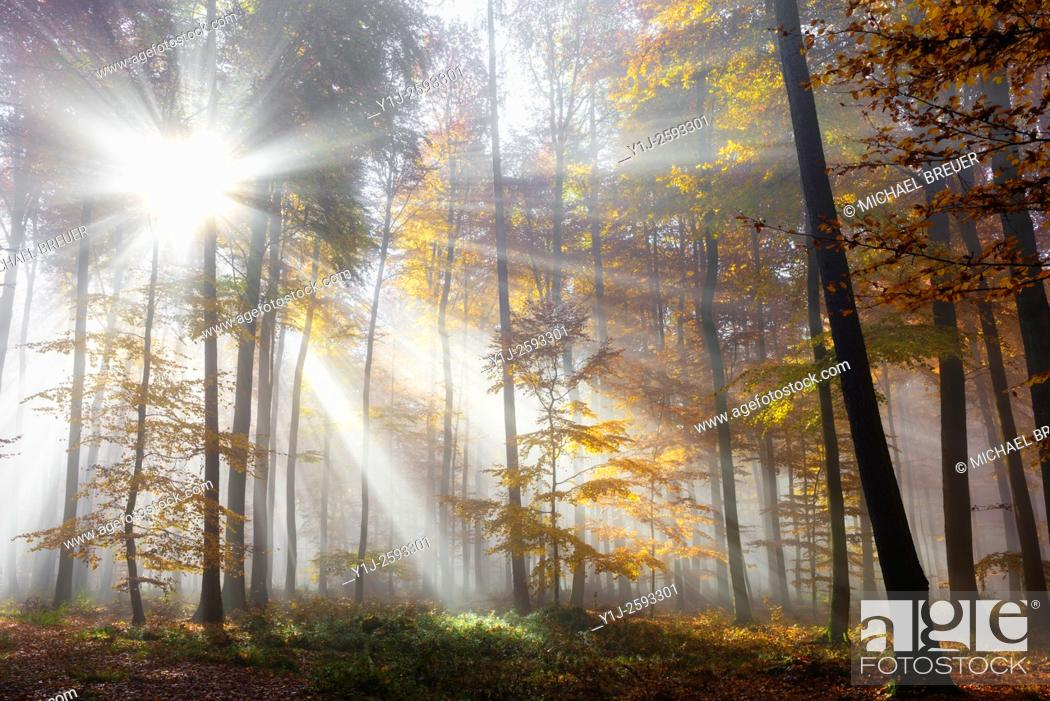 Stock Photo: Sunbeams in beech forest in autumn, Spessart, Bavaria, Germany, Europe.