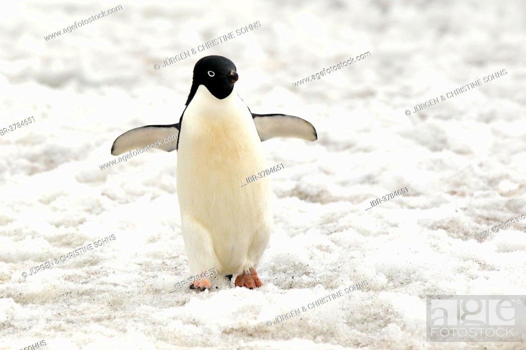 Imagen: Adélie Penguin (Pygoscelis adeliae), adult standing in the snow, Devil Island, Antarctica.