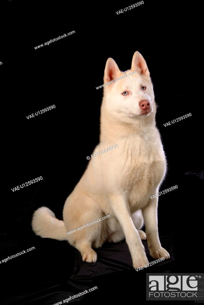 Stock Photo: cute, husky, loving, canines, domestic, siberian husky.