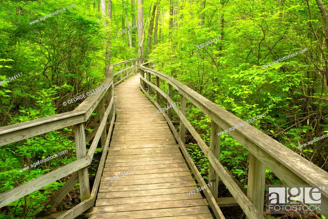Stock Photo: Boardwalk trail, Great Swamp National Wildlife Refuge, New Jersey.