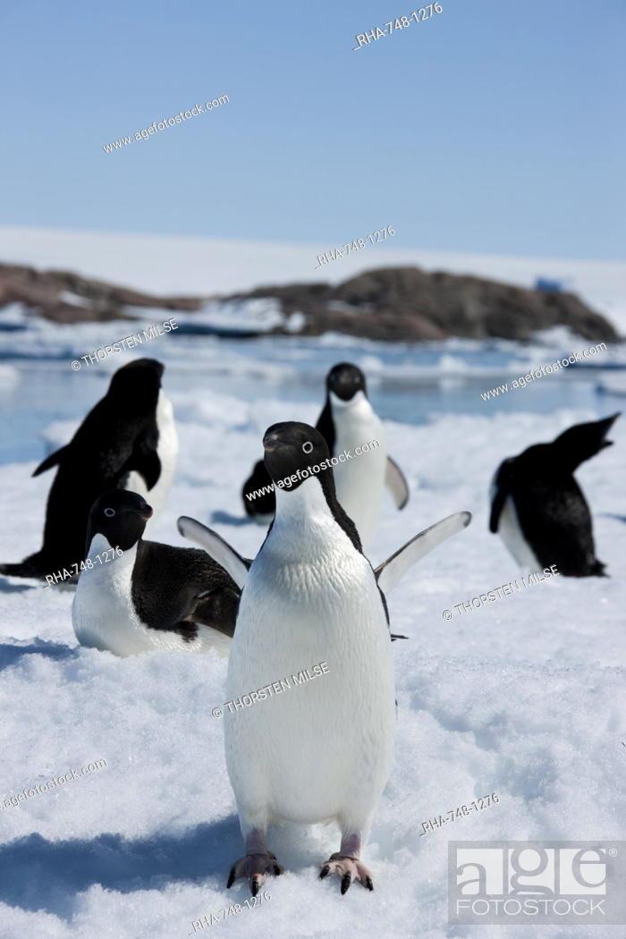 Stock Photo: Adelie penguins Pygoscelis adeliae, Dumont d'Urville, Antarctica, Polar Regions.