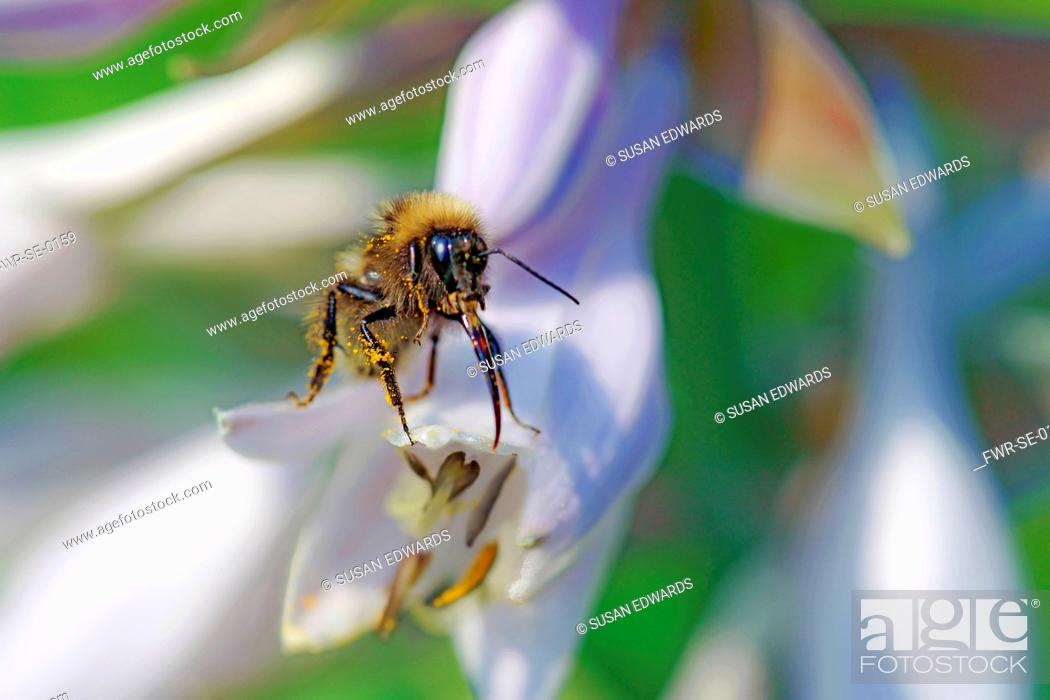 Imagen: Insect, A pollen covered bee on the tip of a flower of a Hosta.