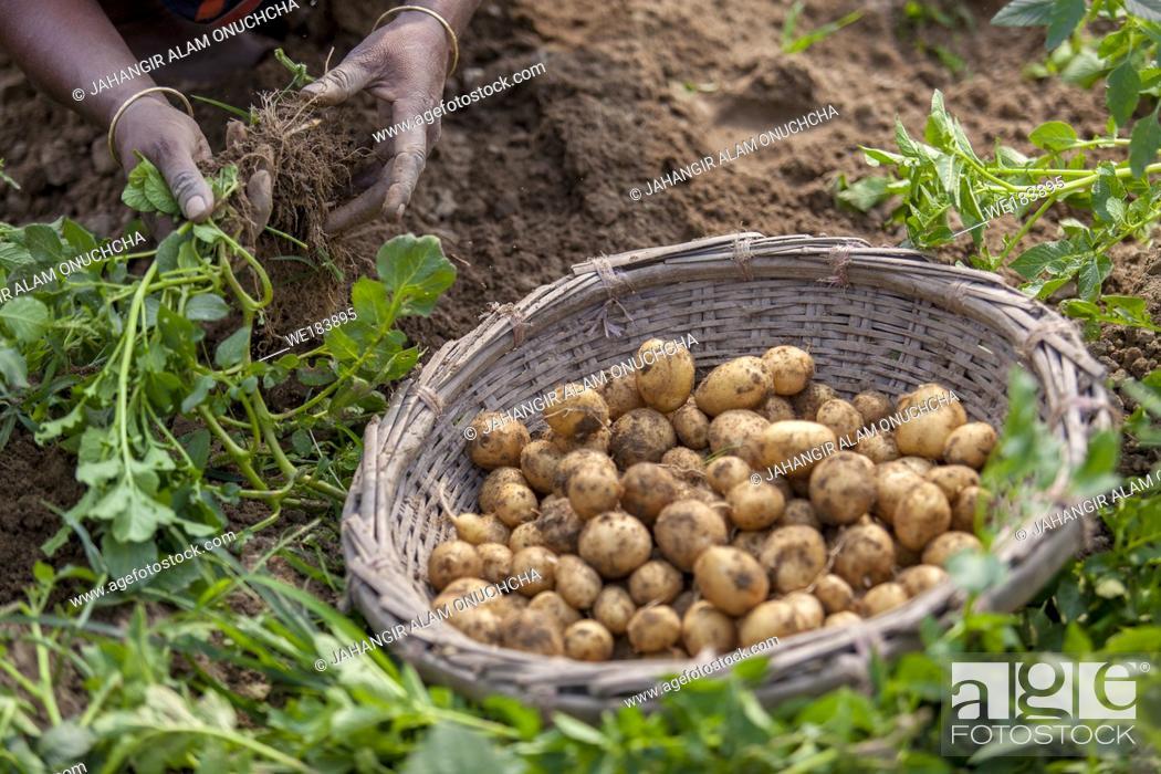 Stock Photo: Roots full potatoes are showing a worker at Thakurgong, Bangladesh.