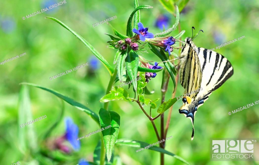 Stock Photo: Scarce Swallowtail (Iphiclides Podalirius) European Butterfly on Spring Flower.