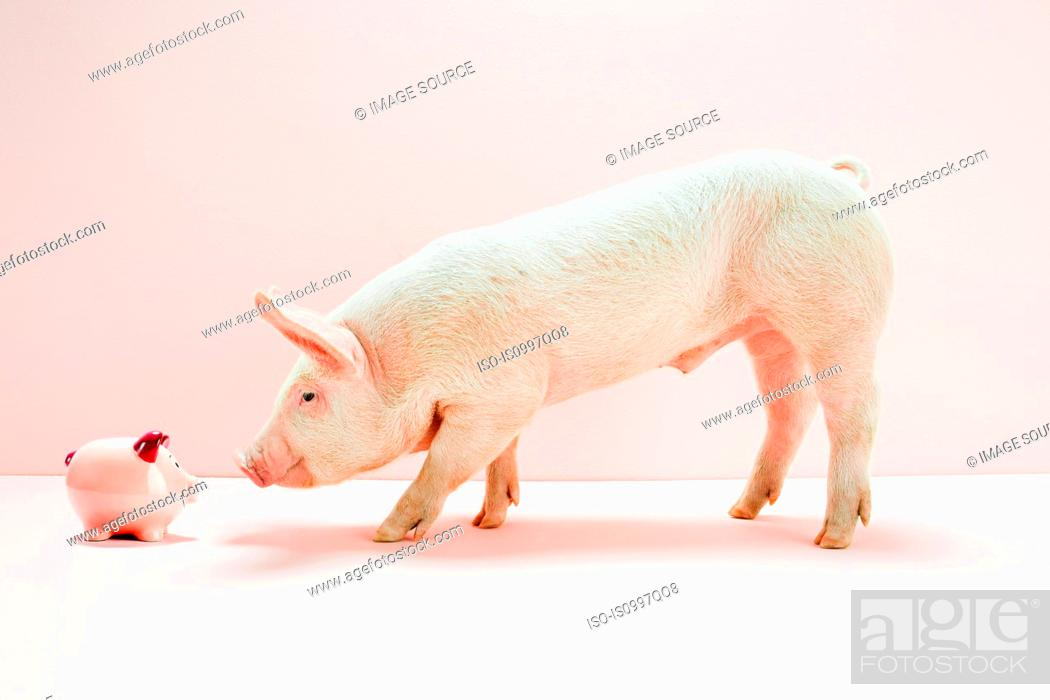Stock Photo: Piglet looking piggybank in studio.