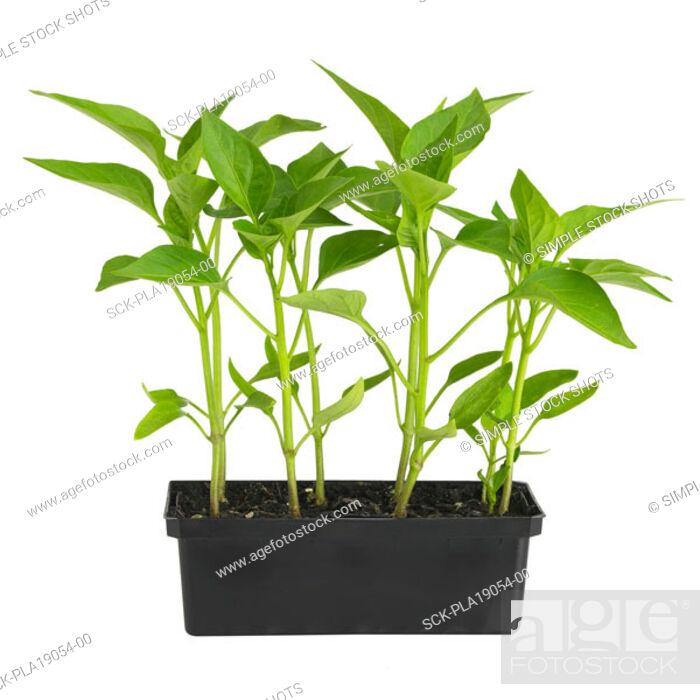 Stock Photo: seedling.