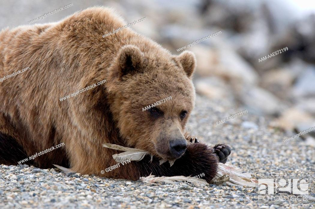 Grizzly Bear Ursus Arctos Scavenging The Remains Of A Dead Tundra