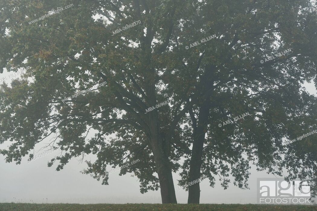 Stock Photo: two trees in the fog,.