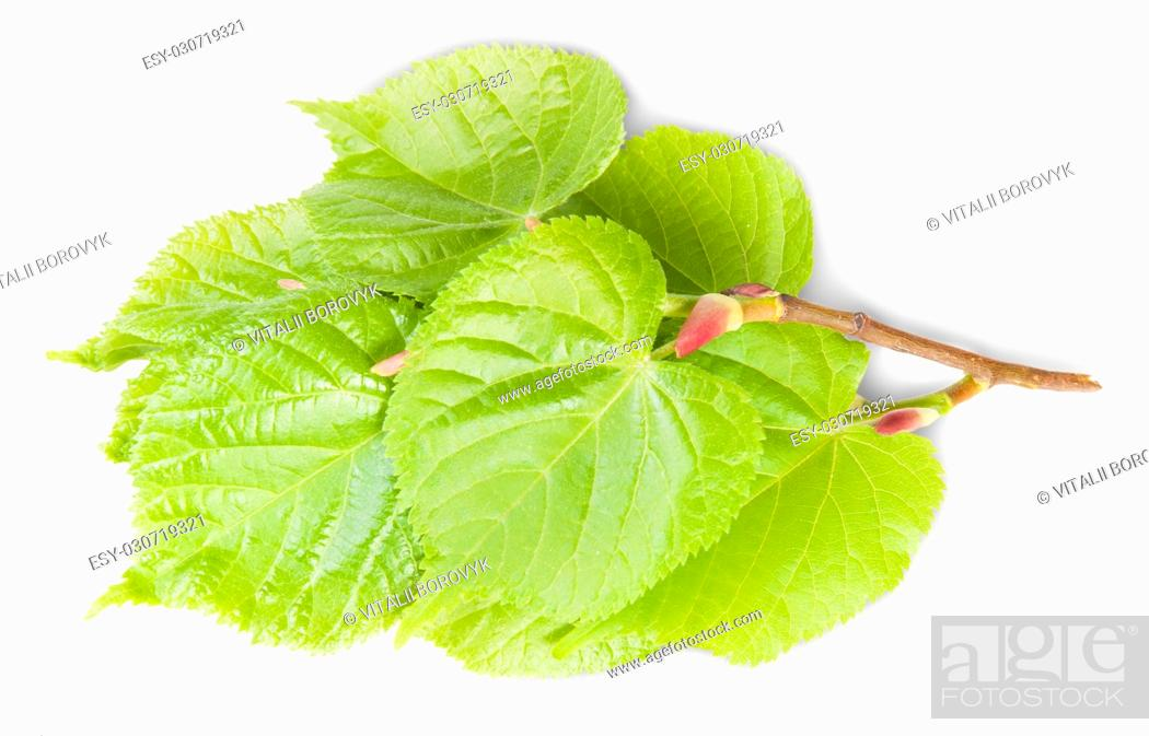 Stock Photo: Linden Leaves On Branch Isolated On White Background.