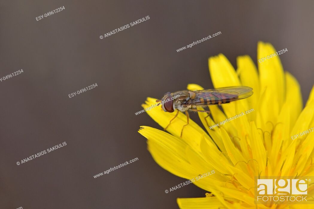 Stock Photo: Episyrphus balteatus, sometimes called the marmalade hoverfly, Crete.