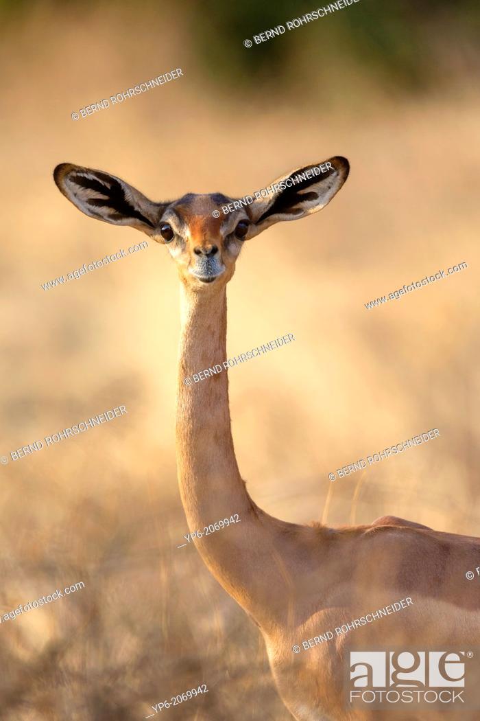 Stock Photo: female Gerenuk (Litocranius walleri), Samburu National Reserve, Kenya.