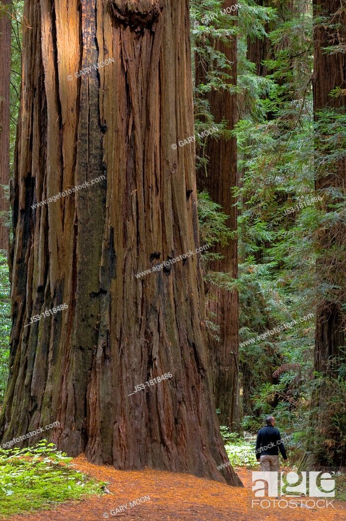 Stock Photo: Man hiking in old growth coast redwood forest, Humboldt Redwoods State Park, Humboldt County, California.