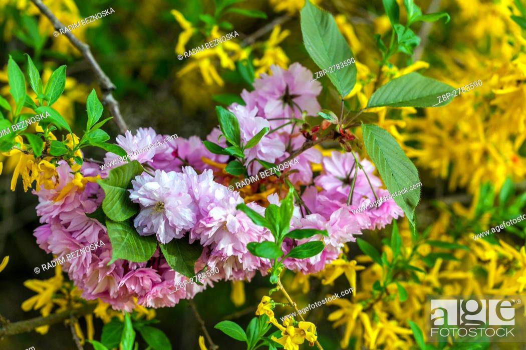 Pink Flowering Cherry Tree Twig And Background Of Yellow Forsythia