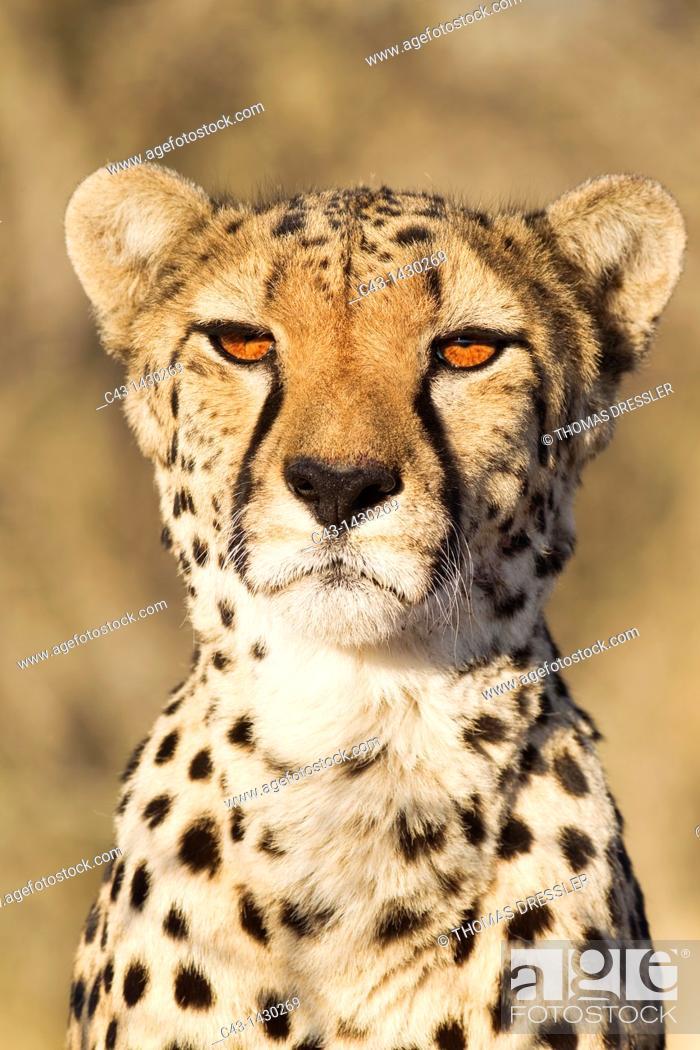 Stock Photo: Cheetah Acinonyx jubatus - Close-up of a female  Photographed in captivity on a farm  Namibia.