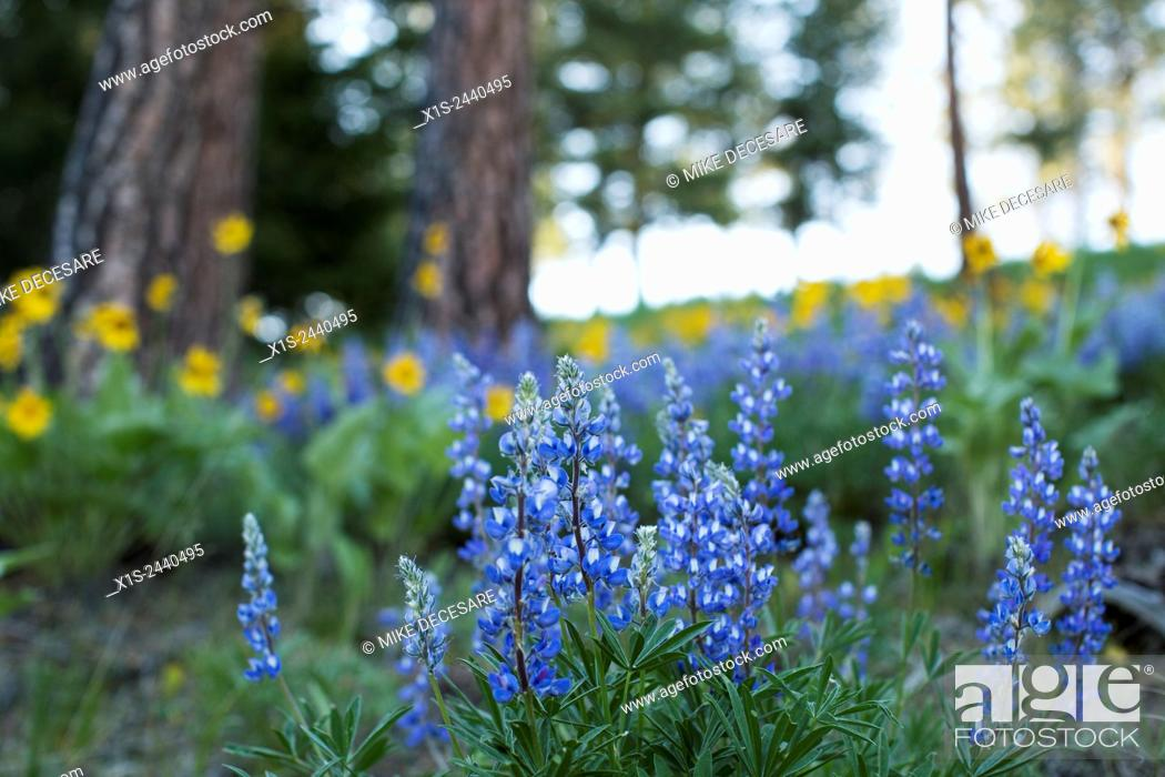 Stock Photo: Blue Lupine on a hillside in Montana.