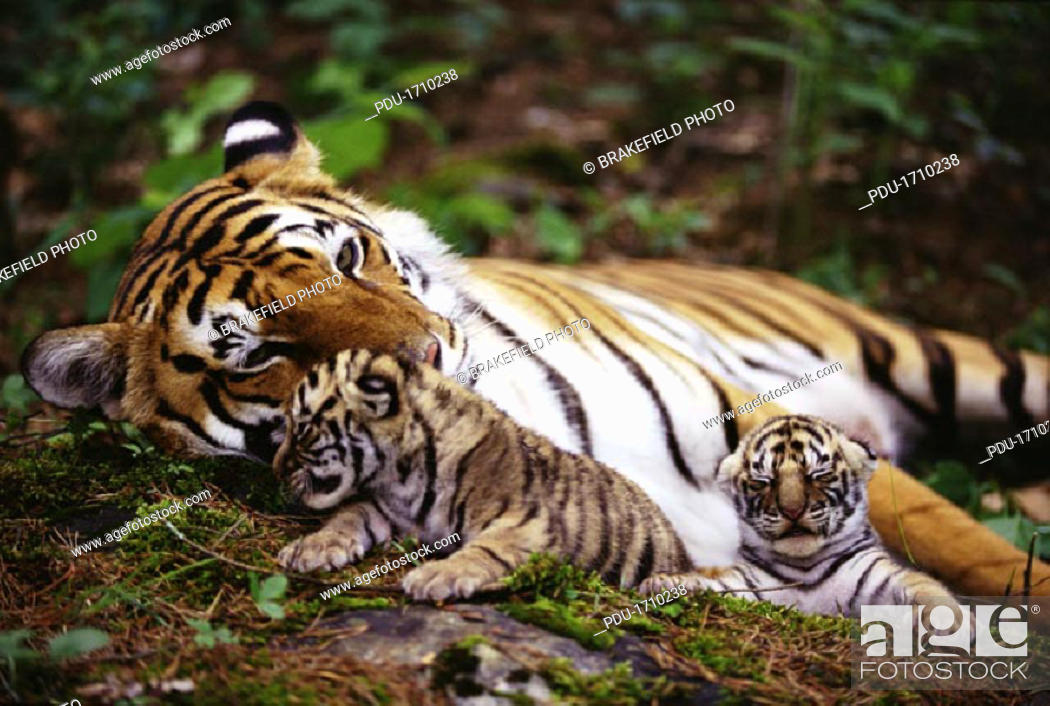 Stock Photo: Tiger Family in Woodlands.