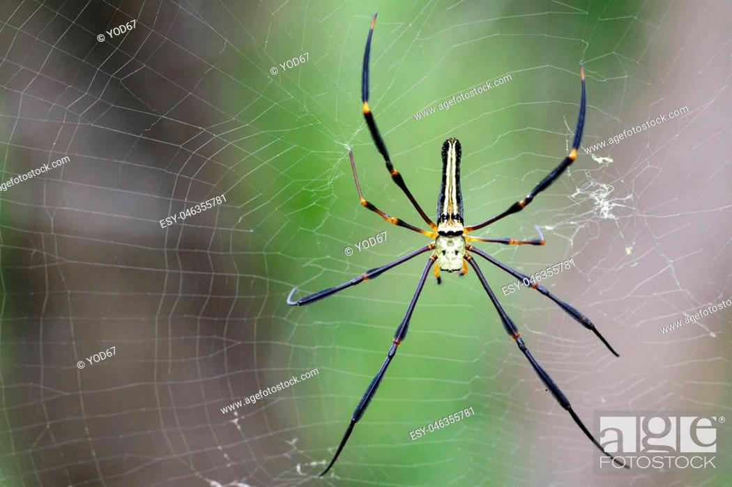 Stock Photo: Image of Spider Nephila Maculata, Gaint Long-jawed Orb-weaver (female) in the net. Insect Animal.