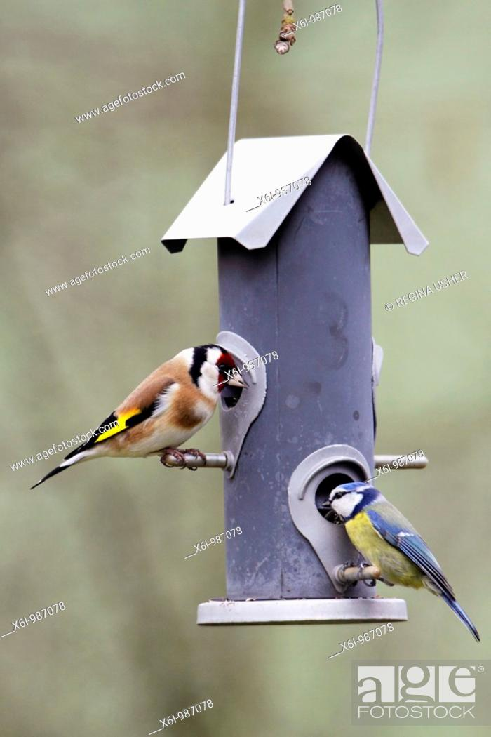 Stock Photo: Goldfinch Carduelis carduelis, and Blue Tit Parus caeruleus, at feeding station in garden, Germany.