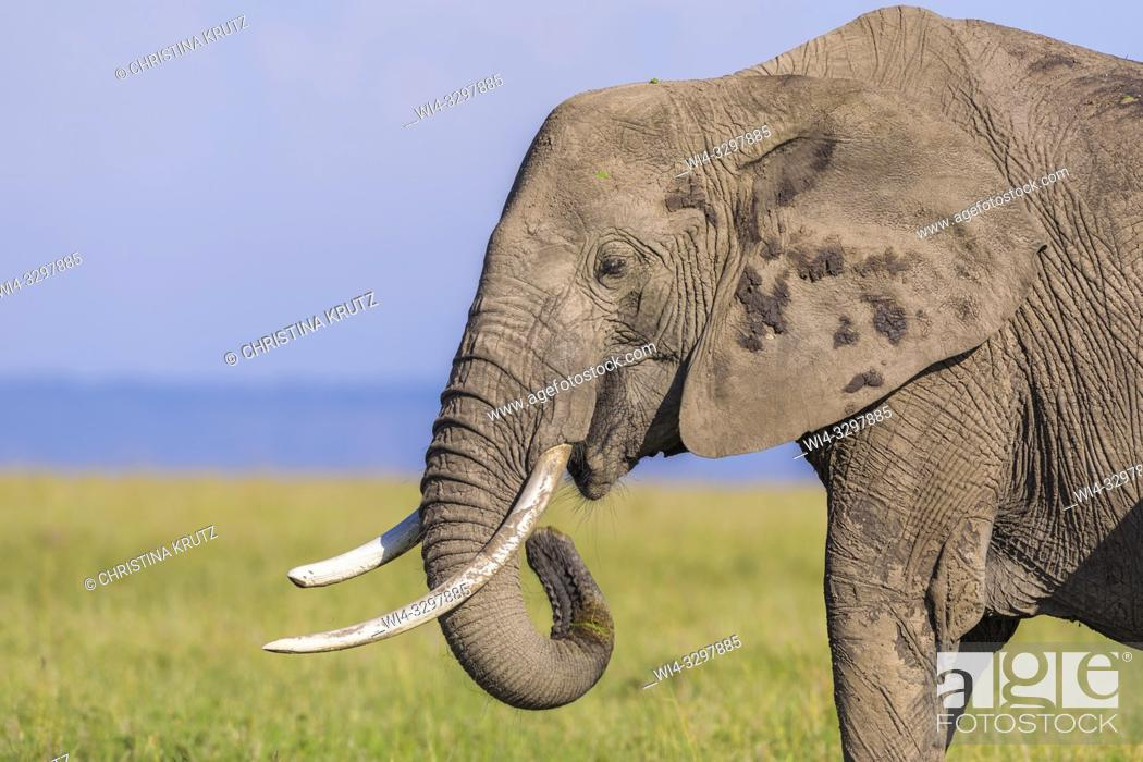 Stock Photo: African elephant (Loxodonta africana) in savanna, Maasai Mara National Reserve, Kenya, Africa.