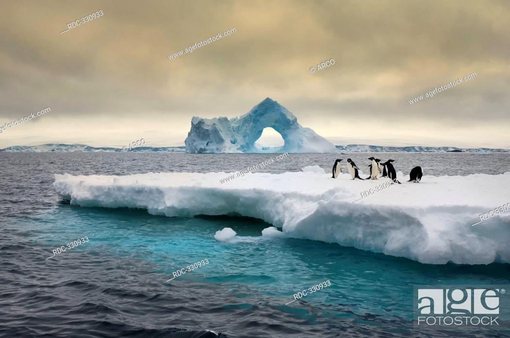 Stock Photo: Adelie Penguins on icefloe, iceberg with natural arch, Paulet Island, Erebus and Terror Gulf, Antarctic peninsula / Pygoscelis adeliae.