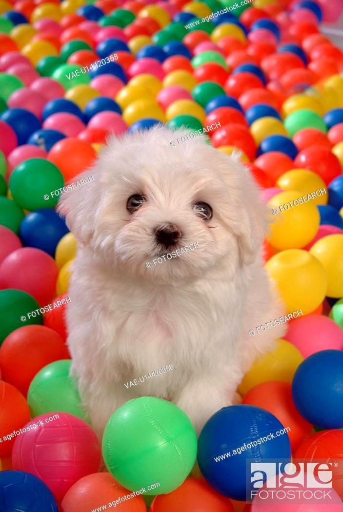 Stock Photo: house pet, ball, canines, domestic, maltese, Maltese.