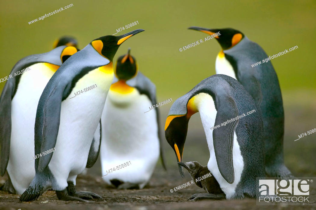Stock Photo: King Penguin (Aptenodytes patagonicus) feeding small chick. Falkland Islands South Atlantic.